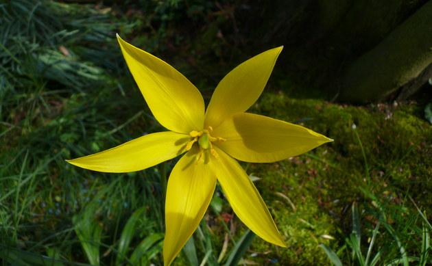 <b>Wilde Tulpe - <i>Tulipa sylvestris</i></b>