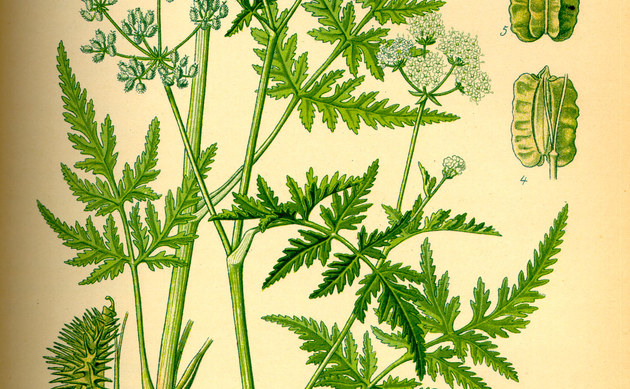<b>Breitblättrige Haftdolde - <i>Caucalis latifolia</i></b>