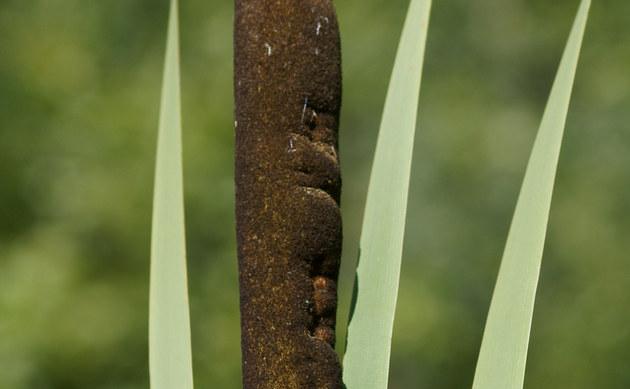 <b>Breitblättriger Rohrkolben - <i>Typha latifolia</i></b>
