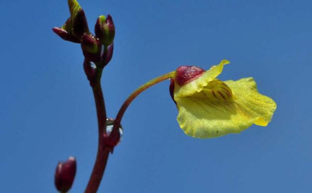<b>Bremis Wasserschlauch - <i>Utricularia bremii</i></b>