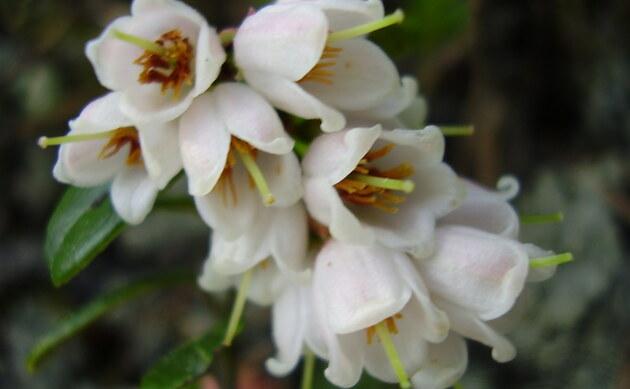 <b>Preiselbeere - <i>Vaccinium vitis-idaea</i></b>