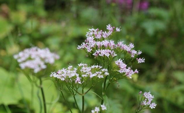 <b>Berg-Baldrian - <i>Valeriana montana</i></b>