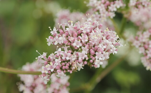 <b>Holunderblättriger Arznei-Baldrian - <i>Valeriana sambucifolia</i></b>