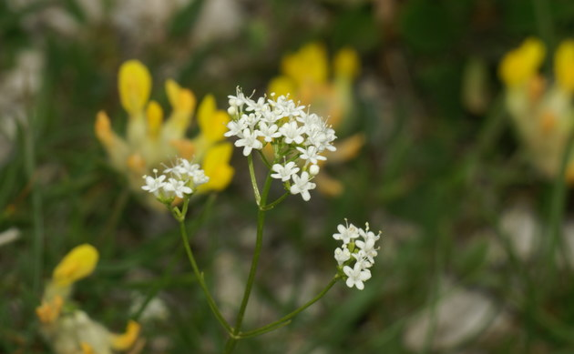 <b>Felsen-Baldrian - <i>Valeriana saxatilis</i></b>