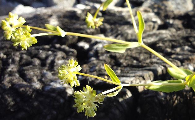 <b>Gekielter Feldsalat - <i>Valerianella carinata</i></b>