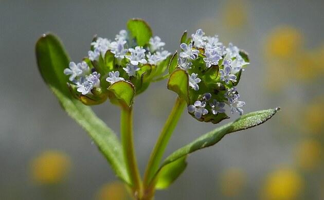 <b>Gewöhnlicher Feldsalat - <i>Valerianella locusta</i></b>