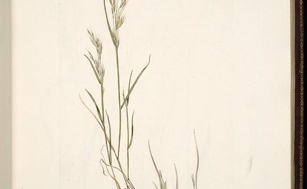 <b>Zweifelhafter Grannenhafer - <i>Ventenata dubia</i></b>