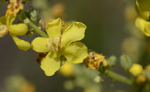 <b>Mehlige Königskerze - <i>Verbascum lychnitis</i></b>