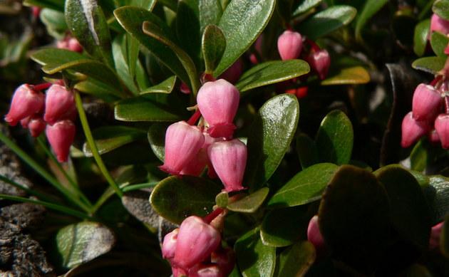 <b>Immergrüne Bärentraube - <i>Arctostaphylos uva-ursi</i></b>