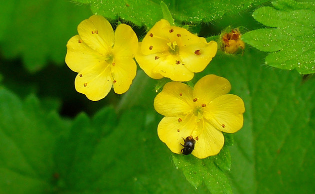 <b>Aremonie - <i>Aremonia agrimonoides</i></b>