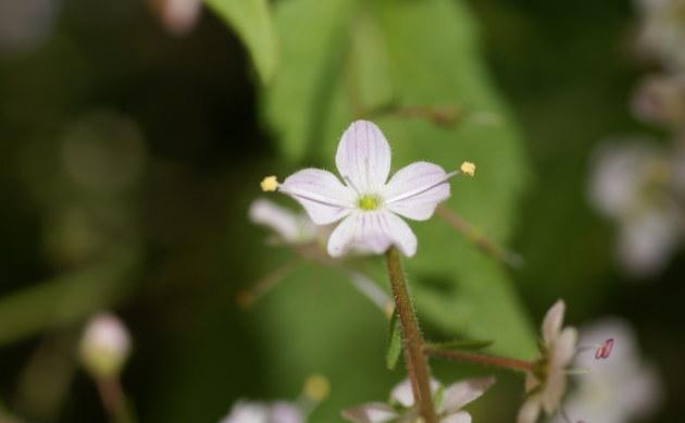 <b>Nesselblättriger Ehrenpreis - <i>Veronica urticifolia</i></b>