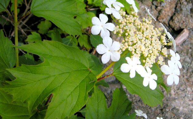 <b>Gewöhnlicher Schneeball - <i>Viburnum opulus</i></b>