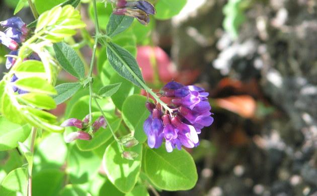 <b>Walderbsen-Wicke - <i>Vicia oroboides</i></b>