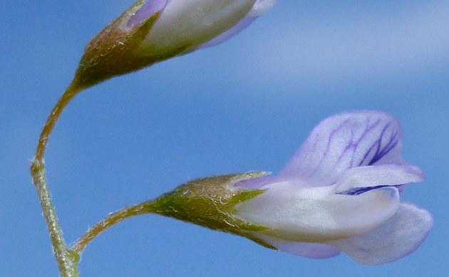 <b>Viersamige Wicke - <i>Vicia tetrasperma</i></b>