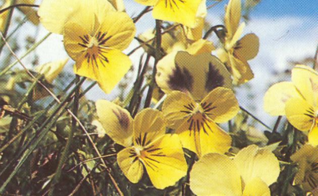 <b>Gelbes Galmei-Stiefmütterchen - <i>Viola calaminaria</i></b>