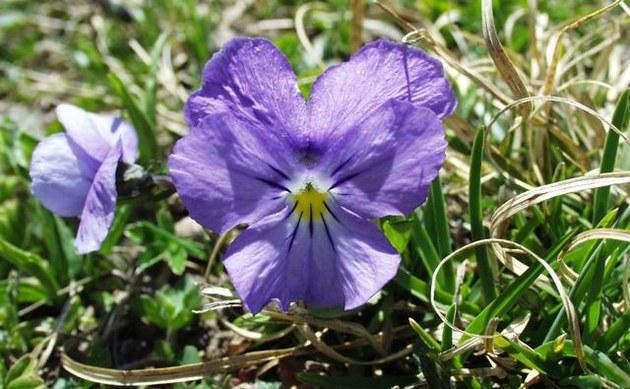 <b>Gesporntes Stiefmütterchen - <i>Viola calcarata</i></b>