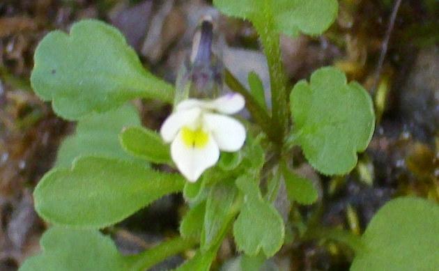 <b>Steppen-Stiefmütterchen - <i>Viola kitaibeliana</i></b>