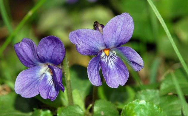 <b>Duftveilchen - <i>Viola odorata</i></b>