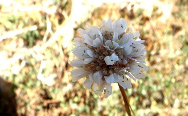 <b>Wegerich-Grasnelke - <i>Armeria arenaria</i></b>