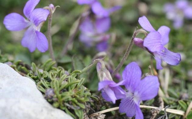 <b>Pyrenäen-Veilchen - <i>Viola pyrenaica</i></b>