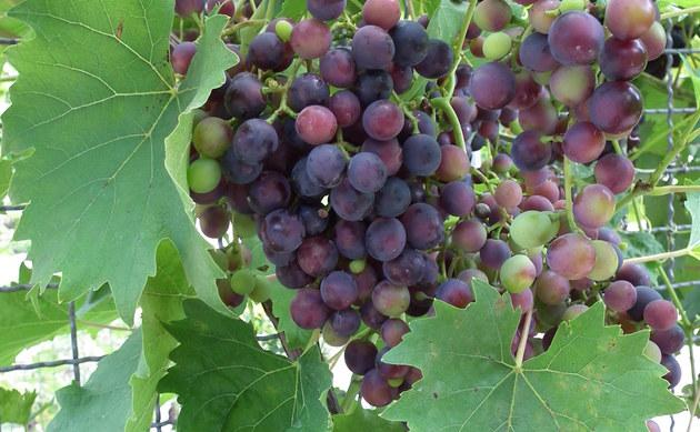 <b>Weinrebe - <i>Vitis vinifera</i></b>