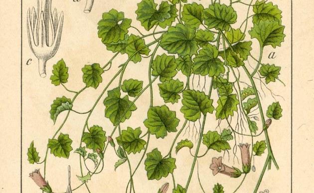 <b>Efeu-Moorglöckchen - <i>Wahlenbergia hederacea</i></b>
