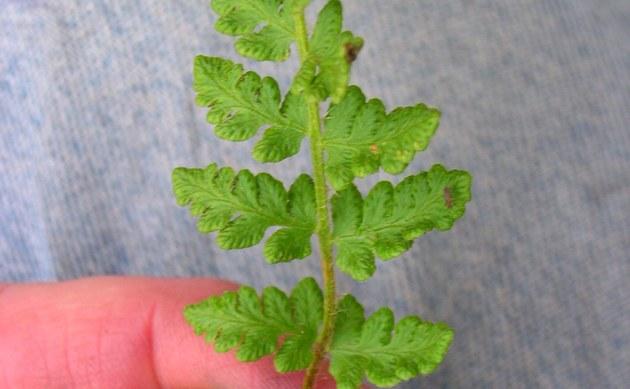 <b>Südlicher Wimperfarn - <i>Woodsia ilvensis</i></b>