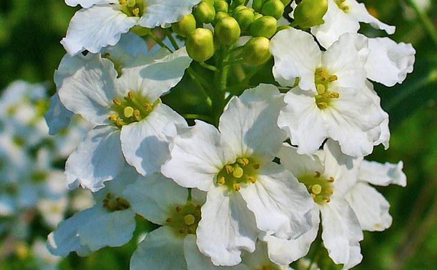<b>Meerrettich - <i>Armoracia rusticana</i></b>
