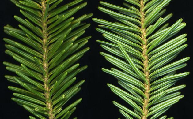 <b>Zwerg-Balsam-Tanne - <i>Abies balsamea</i></b>