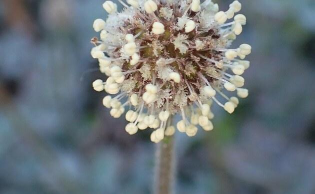 <b>Silbergraues Stachelnüsschen - <i>Acaena caesiiglauca</i></b>