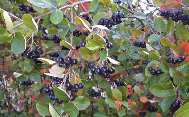 <b>Pflaumenblättrige Apfelbeere - <i>Aronia x prunifolia</i></b>