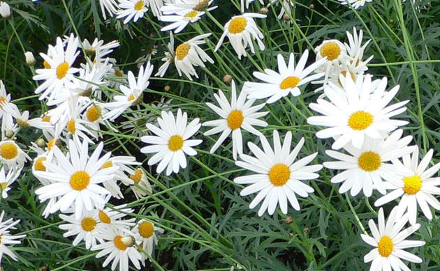 <b>Strauchmargerite - <i>Argyranthemum frutescens</i></b>