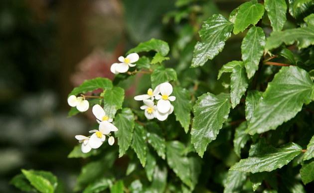 <b>Spitzblättriges Schiefblatt - <i>Begonia acutifolia</i></b>