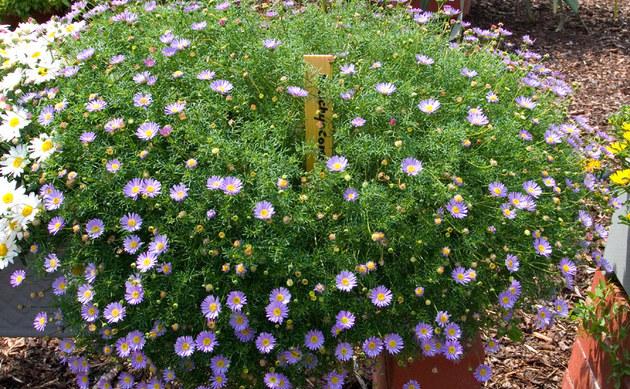 <b>Australisches Gänseblümchen - <i>Brachyscome iberidifolia</i></b>