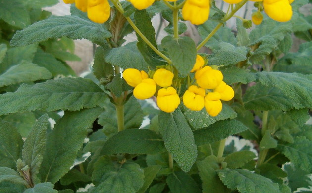 <b>Pantoffelblume - <i>Calceolaria integrifolia</i></b>