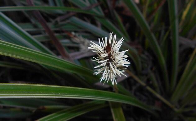 <b>gelbgrüne Segge - <i>Carex morrowii</i></b>