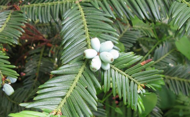 <b>Säulen-Kopfeibe - <i>Cephalotaxus harringtonia</i></b>
