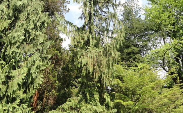<b>Hänge-Alaskacypresse - <i>Chamaecyparis nootkatensis</i></b>