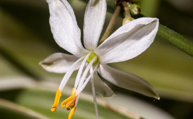 <b>Grünlilie - <i>Chlorophytum comosum</i></b>