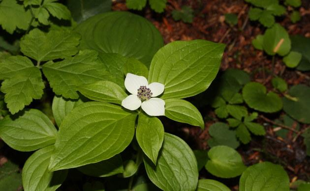 <b>Teppich-Hartriegel - <i>Cornus canadensis</i></b>
