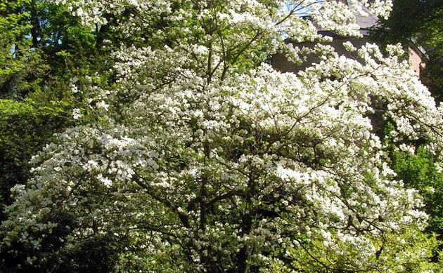 Blumenhartriegel Cornus florida Beschreibung Steckbrief Systematik
