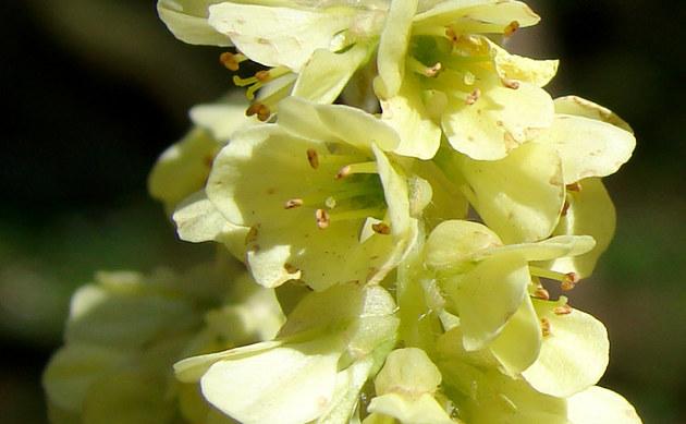 <b>Scheinhasel - <i>Corylopsis pauciflora</i></b>
