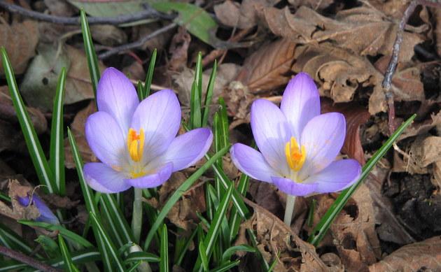 <b>Frühlings-Krokus - <i>Crocus vernus</i></b>