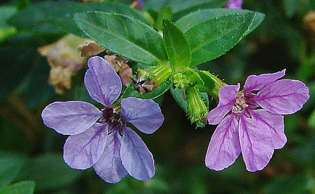 <b>Köcherblümchen - <i>Cuphea hyssopifolia</i></b>