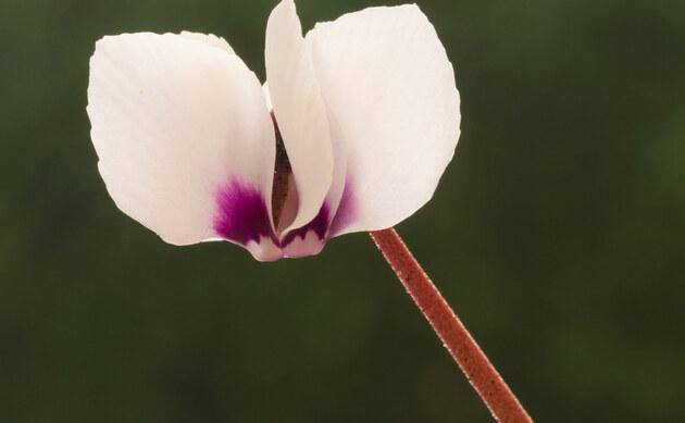 <b>Vorfrühlings-Alpenveilchen - <i>Cyclamen coum</i></b>
