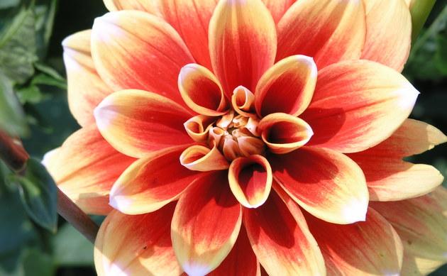 <b>Garten-Dahlie - <i>Dahlia pinnata</i></b>