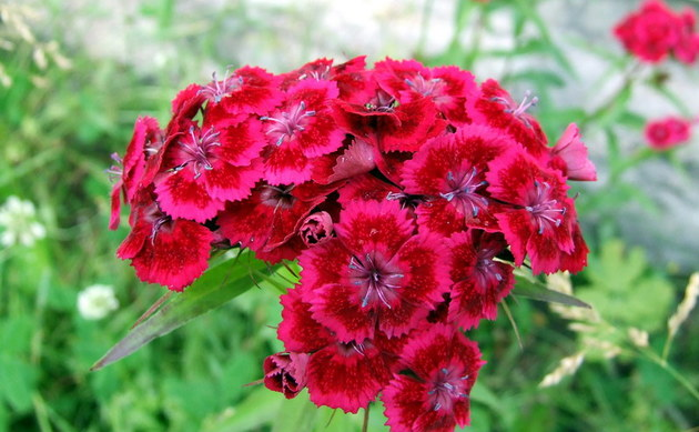 <b>Bartnelke - <i>Dianthus barbatus</i></b>