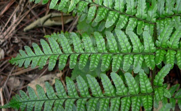 <b>Rotschleierfarn - <i>Dryopteris erythrosora</i></b>