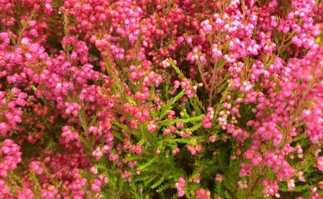 <b>Zierheide - <i>Erica gracilis</i></b>