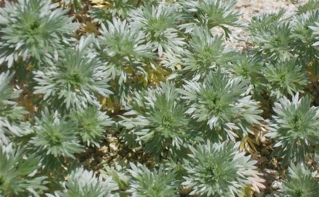 <b>Schlitzblättriger Beifuß - <i>Artemisia laciniata</i></b>